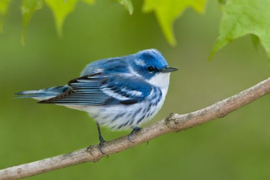 A Cerulean Warbler perched on a branch. Photograph by Glenn Bartley, Corbis