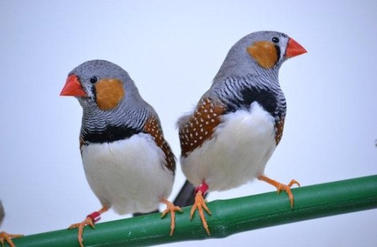 Singing zebra finch brothers created a new song based on the signature song of their dad.