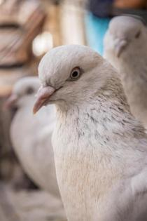 You may have more in common with a pigeon than you realize, according to research. (Credit: © Xavier Allard / Fotolia)