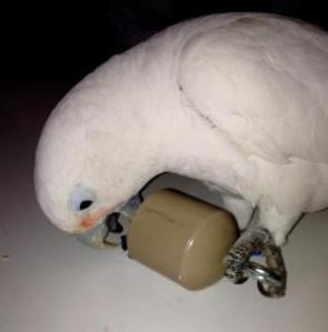 Cockatoo lifting a container. (Credit: Copyright Alice Auersperg)