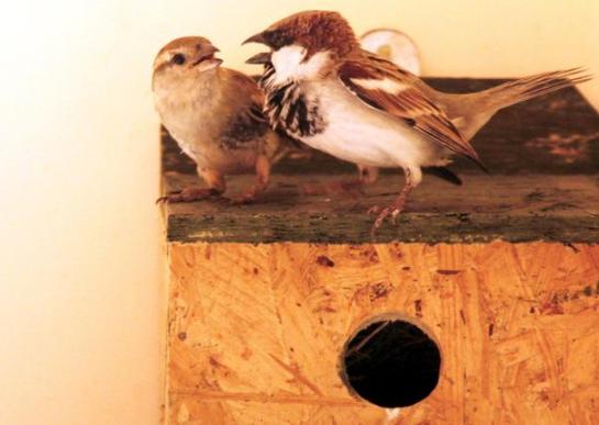 Sparrows have nested in one of the nest boxes distributed as part of the Save the Sparrow campaign. Photo: K. Ananthan