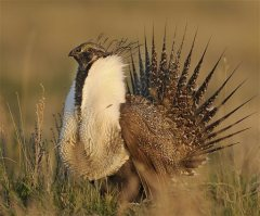 In this undated image provided Friday July 19, 2013 by the North Dakota Game and Fish Department shows an adult sage Grouse. Wildlife officials are hoping to move 60 sage grouse from Montana to North Dakota to boost a waning population.