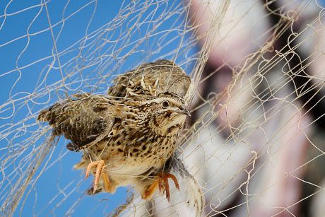 A Common Quail (Coturnix coturnix) caught in a trapper's net along the Egyptian Mediterranean coast, autumn 2012. Photo by Holger Schulz/NABU