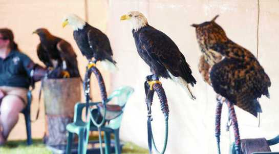 Birds from the Sardis Raptor Center, including two bald eagles, were on display for the first day of the Northwest Washington Fair in Lynden in August 2012. PHILIP A. DWYER — THE BELLINGHAM HERALD Read more here: http://www.bellinghamherald.com/2013/07/27/3114387/fate-of-eagles-unknown-after-wa.html#storylink=cpy