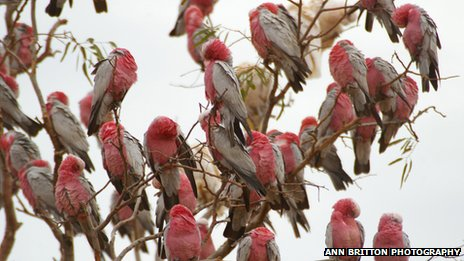 The galahs have been 'annoying the township for up to two months'