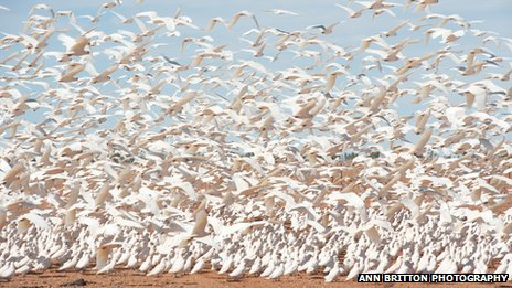 The sheer number of birds has caused mess and nuisance to the town