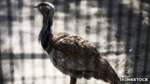 Houbara Bustards are caught and smuggled to the Gulf