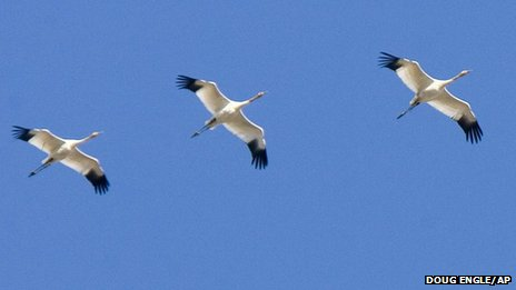 Siberian Cranes have not been seen in Afghanistan this century