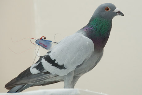 A pigeon with a Cornell mini backpack. Credit: Michael Shafer