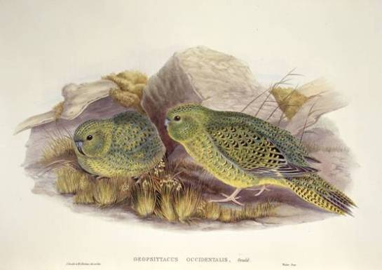 The critically endangered night parrot has remerged after over a century of seclusion. Photo Credit: Alamy
