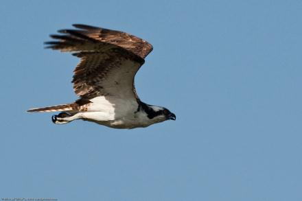 Birds of prey are still the most targeted group of protected birds in Malta, sought after primarily for taxidermy.