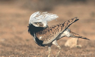 The endangered Houbara bustard. Photo: Assaf Moroz