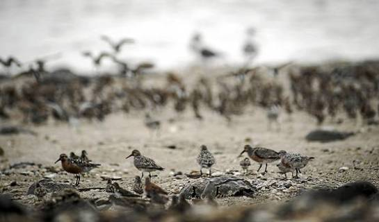Red knots, elite athletes of the bird world, stop briefly in Delaware Bay in the spring to feast on horseshoe crab eggs. When they have doubled their weight, they will resume their flight to the Arctic to breed. - Andre Chung/MCT Photo