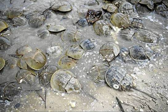 In spring, horseshoe crabs wash ashore on Delaware Bay to lay eggs. This is also the time when red knots stop there to fuel up on the eggs. - Mary F. Calvert/MCT Photo