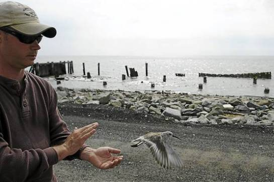 After tagging and recording data, Kevin Kalasz, 39, of Delaware Fish and Wildlife, releases a Dunlin sandpiper. - Mary F. Calvert/MCT Photo
