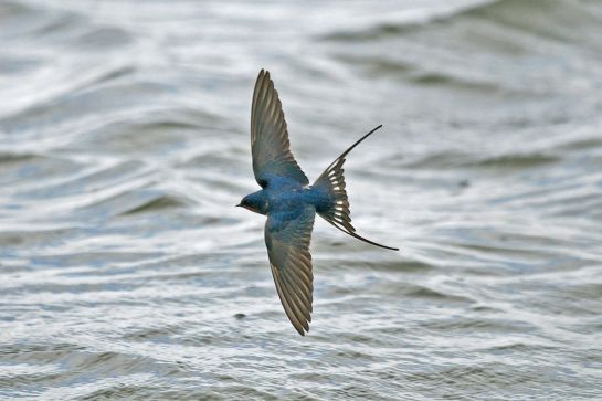 Swallow is one of five species that children and families across Europe have been asked to log as they arrive. Photo: Steve Young (www.birdsonfilm.com).