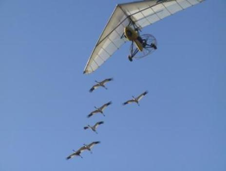 All whooping cranes studied by the University of Maryland team got the same initial flight training as chicks, following an ultralight piloted by the non-profit Operation Migration from Wisconsin to Florida in the fall. The study examined their subsequent migrations, beginning the following spring. (Credit: Heather Ray/copyright Operation Migration USA Inc.)