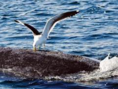 File photo: A seagull pecks at a whale in the southern Atlantic Ocean. The gull was found on the sand by Oppenheimer Estate manager Paul de Swart who had been trying unsuccessfully to catch the bird.