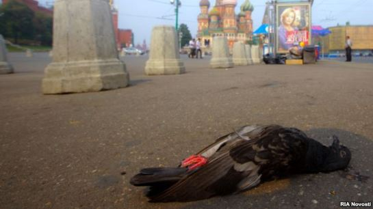 "In crowded, summertime Moscow, there are fears the ""zombie pigeons"" may pose a health risk to their human neighbors."