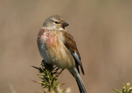 A Linnet, showing its characteristic red breast and forehead. Picture: Contributed