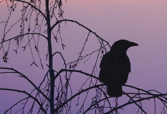 The discovery of several paralyzed crows and ravens in northern B.C. remains a mystery to wildlife officials. Further examinations are underway.