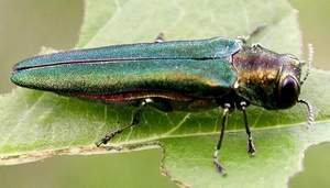 An emerald ash borer / Free Press file photo