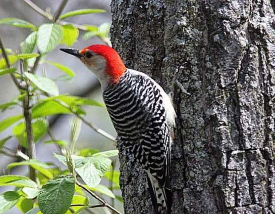 Red-bellied woodpeckers are common in Michigan -- and their population is increasing. / Free Press file photo