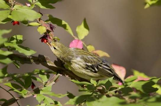 Songbirds like this female blackpoll warbler, which may be seen migrating through our area in a week or two, would not be spared in Mediterranean hunting practices. / Photo courtesy of Steve Golliday