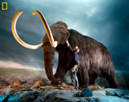 This photo shows a museum worker inspecting a replica of a woolly mammoth (Mammuthus primigenius), a relative of modern elephants that went extinct 3,000 to 10,000 years ago. Scientists in Russia and South Korea have embarked on an ambitious project to try to create a living specimen using the DNA-storing nucleus of a preserved mammoth cell and an Asian elephant egg. Credit: Photo by Jonathan S. Blair/National Geographic