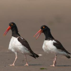 A stroll down the beach is part of courtship for these oystercatchers