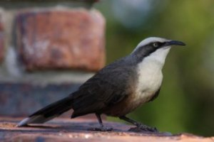 Grey-crowned babblers have been spotted around regrowth areas at Mt Owen in Upper Hunter Valley.