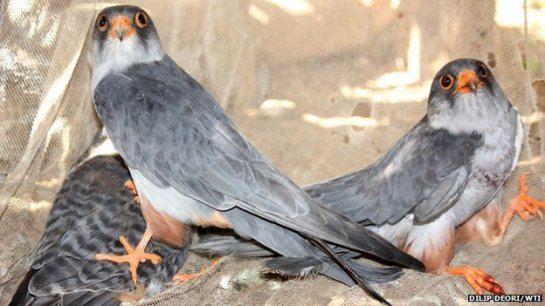 The Amur falcons are hunted for meat in India's Nagaland state