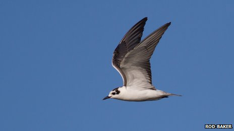 The white-winged black tern rarely visits the UK