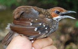 adult-warbler-jpg