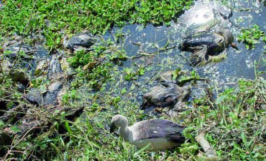 Siberian birds died due to Phailin cyclone and incessant low pressure rains at Telukunchi. —DC