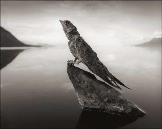 "Photographer Nick Brandt collected and propped up small dead animals, including this calcified swallow, from Lake Natron's shores for a series in his new book, ""Across The Ravaged Land."""
