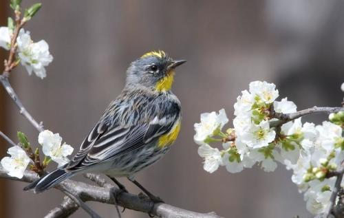 [Audubon's Warbler; credit:  Pterzian/commons.wikimedia]