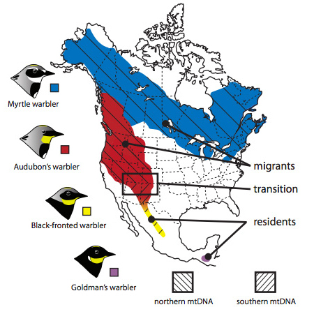 [Map of DNA migratory behaviour and distribution of mitochondrial DNA in four groups of yellow-rumped warbler. Credit: David Toews, UBC]