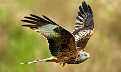 Red kite (Milvus milvus), a bird of prey. Figures show both woodland and farmland bird numbers are falling. Photograph: David J Slater/Alamy