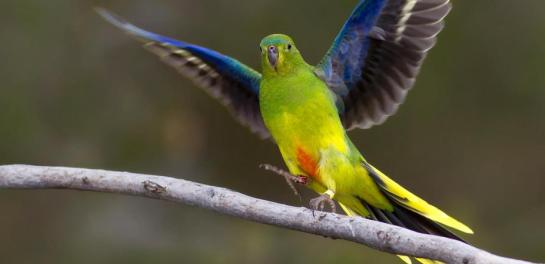 Somehow the Orange-bellied Parrot is always getting into trouble. Fatih Sam