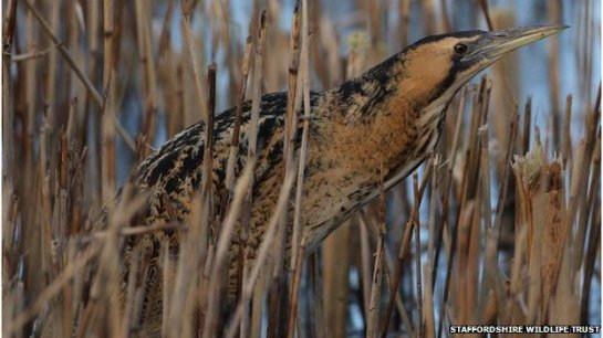 The trust hopes to turn the quarry into a nature reserve with a large reed bed, to encourage bitterns to breed