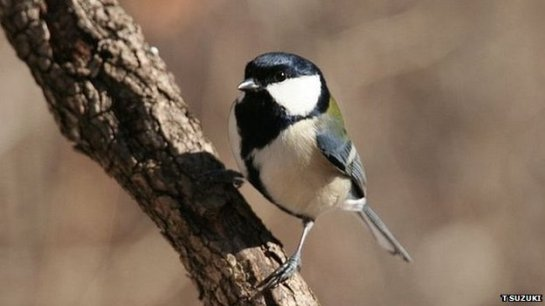 Great tits use different combinations of notes in their calls to communicate information about predators