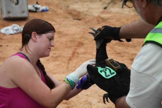 Amanda Holland, a University of Georgia Warnell School of Forestry and Natural Resources graduate student, helps tag a vulture.