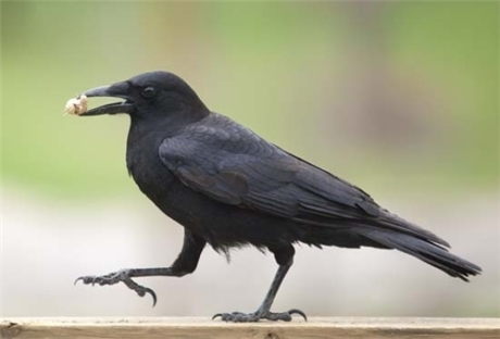 Neurobiologists  have demonstrated how the brains of crows produce intelligent behavior