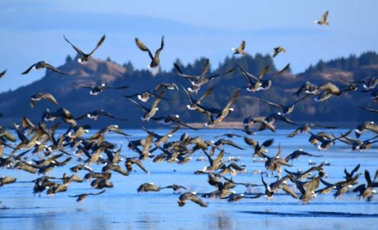 FILE - This Dec. 17, 2013 photo shows hundreds of emperor geese taking off from the banks of Sargent Creek after being startled by a photographer in Kodiak, Alaska. Audubon Society has collated and interpreted information from databases and decades of government surveys to create an interactive map of important areas for more than 33 million seabirds and 150 species along North America's Pacific Coast. Photo: James Brooks, AP