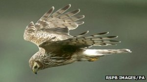A hen harrier and two golden eagles were shot last year