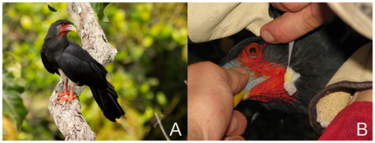 Photographs of Red-throated Caracaras. A. Red-throated Caracara perched on a branch near the Pararé Camp of the Nouragues Reserve in Central French Guiana, April 2011; note the bird's bare face and throat. B. Procedure of swabbing the skin of the bird's face with hexane-soaked cotton to remove skin surface chemicals. Feet and feathers were sampled in a similar fashion. Credit: doi:10.1371/journal.pone.0084114.g001