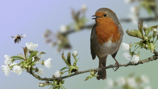 england birds wildlife european robins 1920x1080 wallpaper_wallpaperswa.com_20