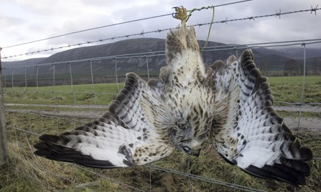 An Eurasian buzzard (Buteo buteo), strung up on a farm fence in Scotland. Photograph: T/Alamy