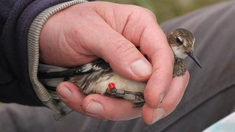 The tag was recovered from a male red-necked phalarope in Shetland